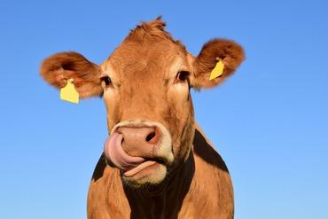 cow-1715829_1920.jpeg
